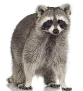Raccoon Control New Jersey