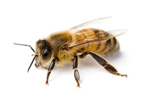 New Jersey bee Removal