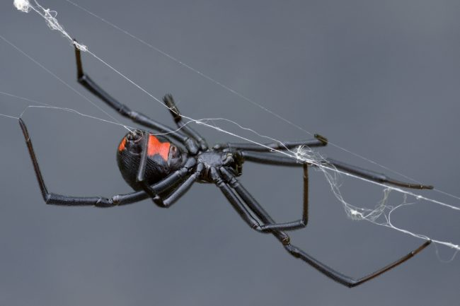 Black widow spider weaving her web