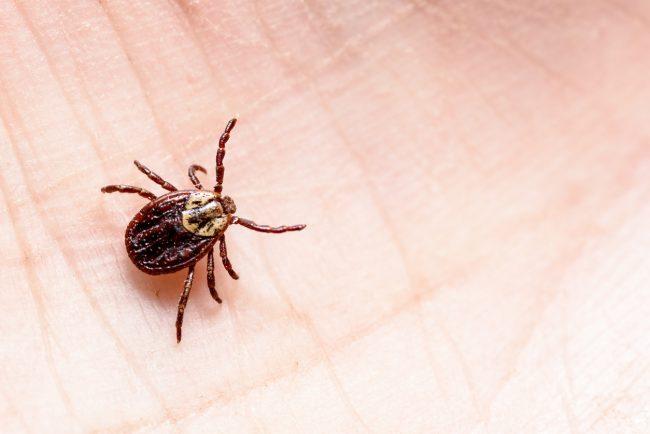 tick (mite encephalitis) on human skin
