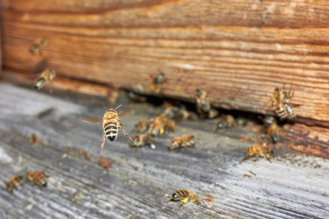 Bee flying in front of a beehive built inside the house.