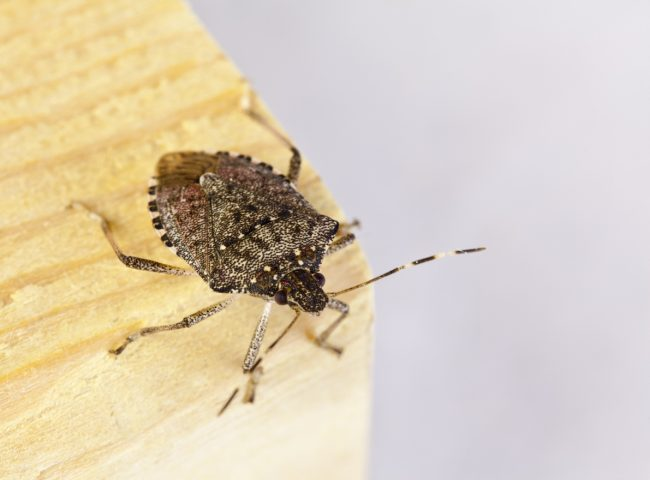 The adult brown marmorated stink bug is a little over a half inch in length and about as wide.