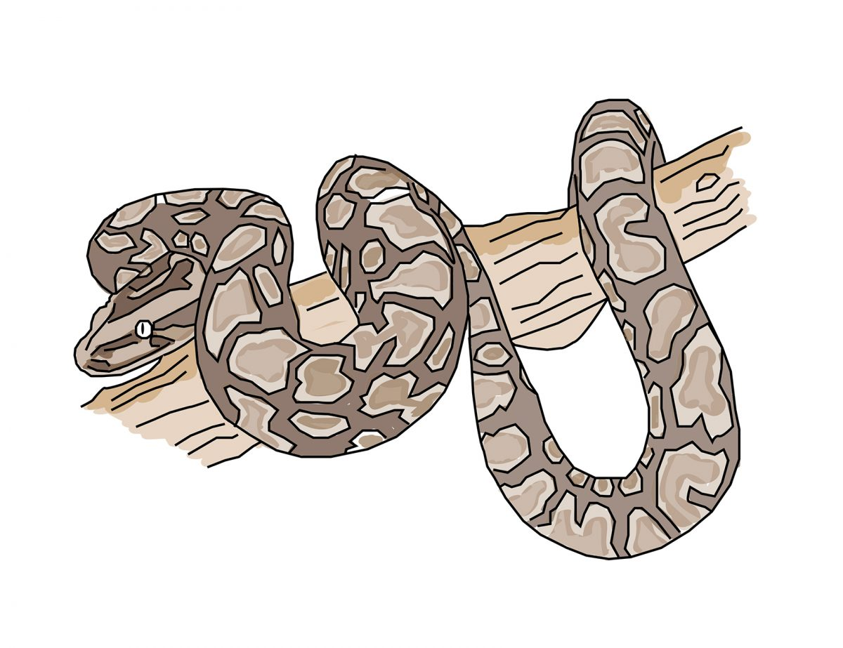 Uganda African Rock Python