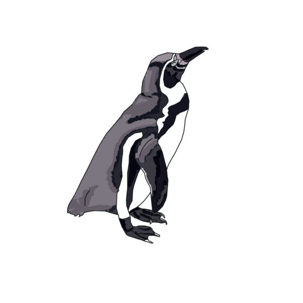Magellanic_penguin