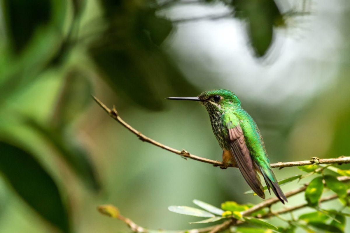 Birdwatching in Manú National Park