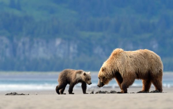 Spot grizzlies in Katmai National Park