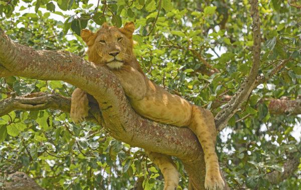 See the tree lions of Ishasha