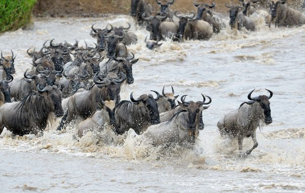 See the famed Mara River crossing
