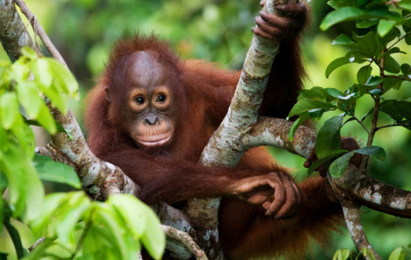 See orangutan royalty at Camp Leakey