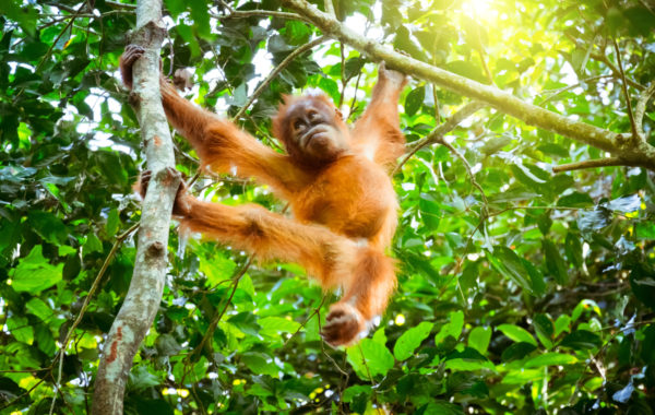 Volunteer with orangutans