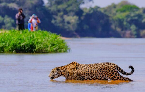 Go jaguar-spotting in Porto Jofre