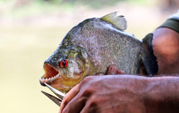 Go piranha fishing on the Amazon