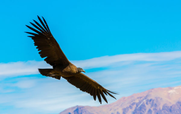 The flight of the condor in Colca Canyon