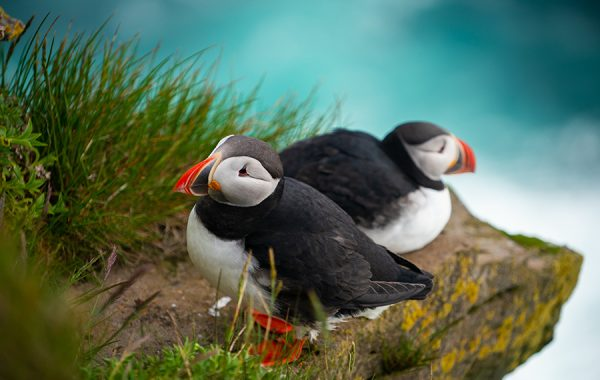 Spot puffins in southern Iceland