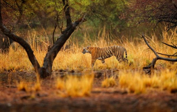 Search for tigers in Ranthambore National Park