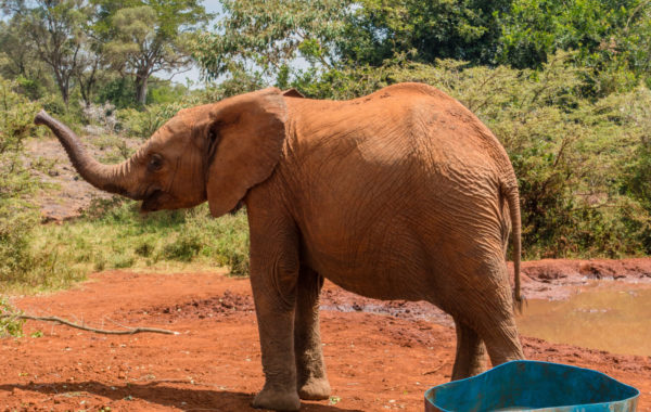 Feed a baby elephant at a Nairobi sanctuary
