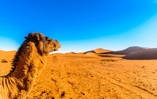 Take a sunset camel trek in the Sahara Desert