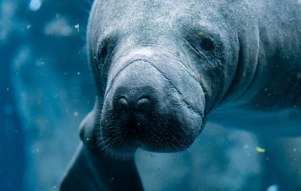 See manatees at the Amazon Rescue Center