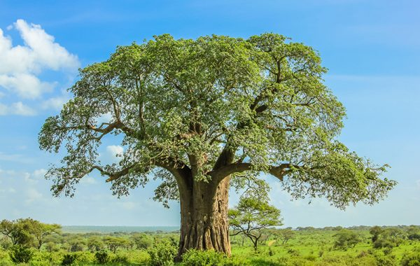 Explore the world of baobabs on a walking safari