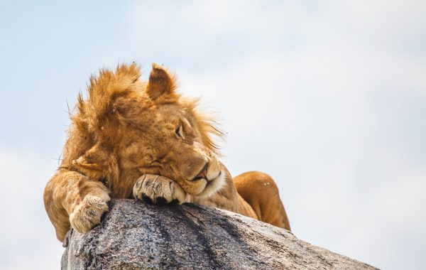 Go lion-watching at Simba Kopjes