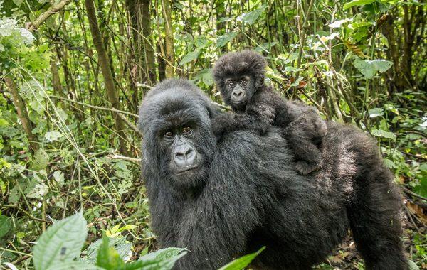 Visit mountain gorillas in Bwindi