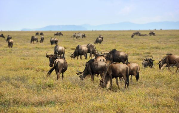 Witness the great migration in the Serengeti
