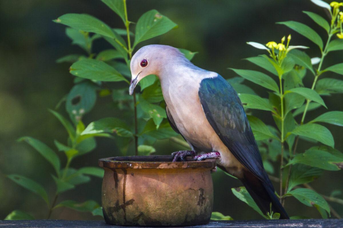 031 Sri Lanka Green Piegon