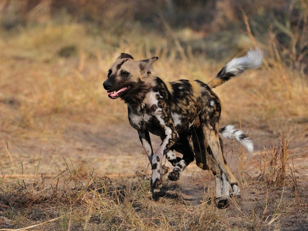 032-Sa-Safari-Wild-Dog