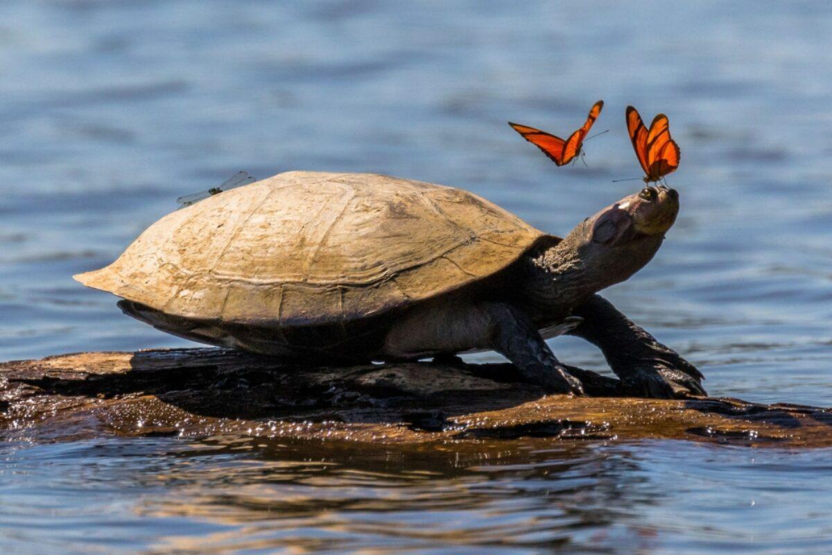 Amazon turtle in Tambopata National Reserve Peru