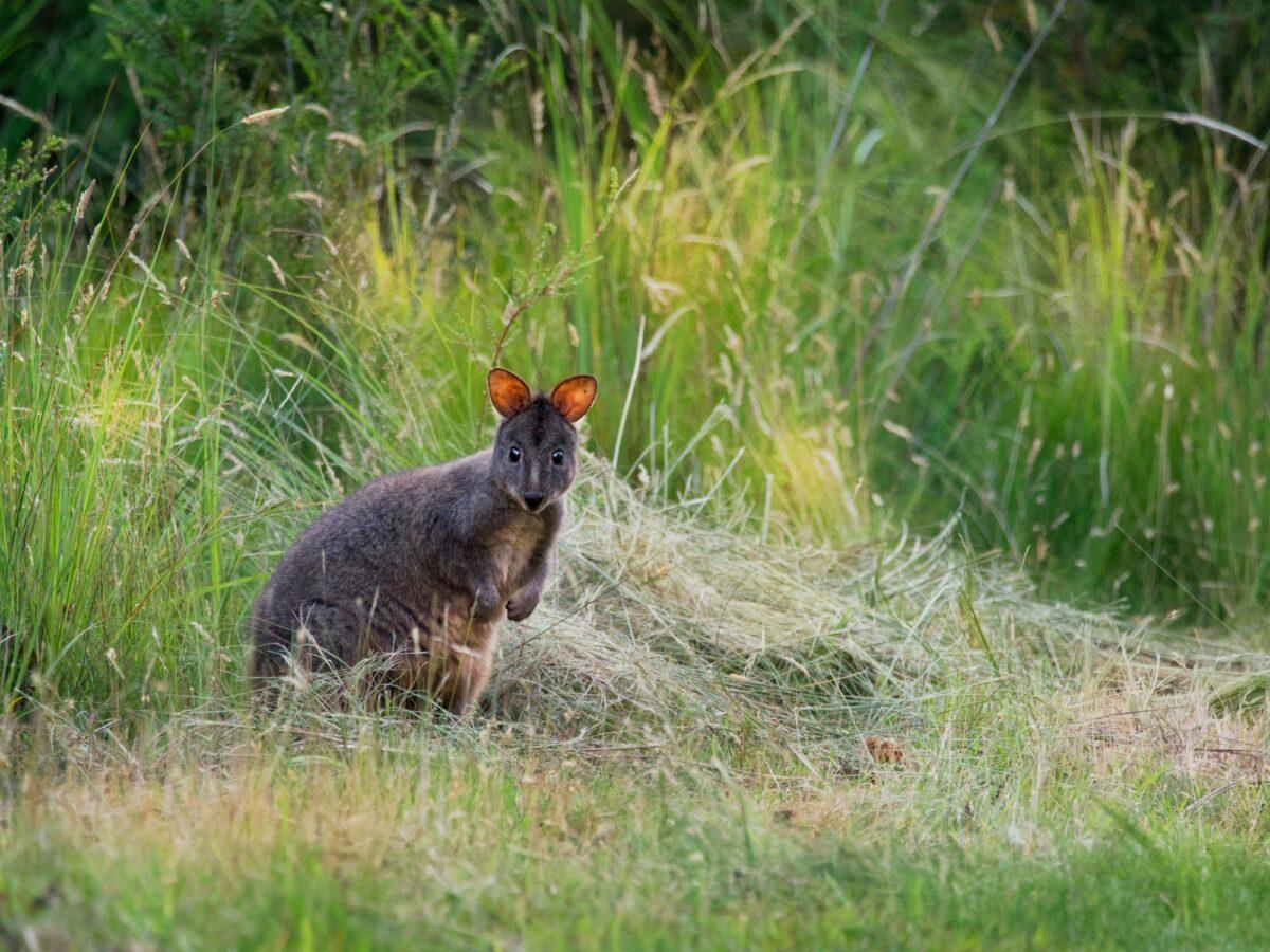 Aus Tasmania Tasmanian Pademelon