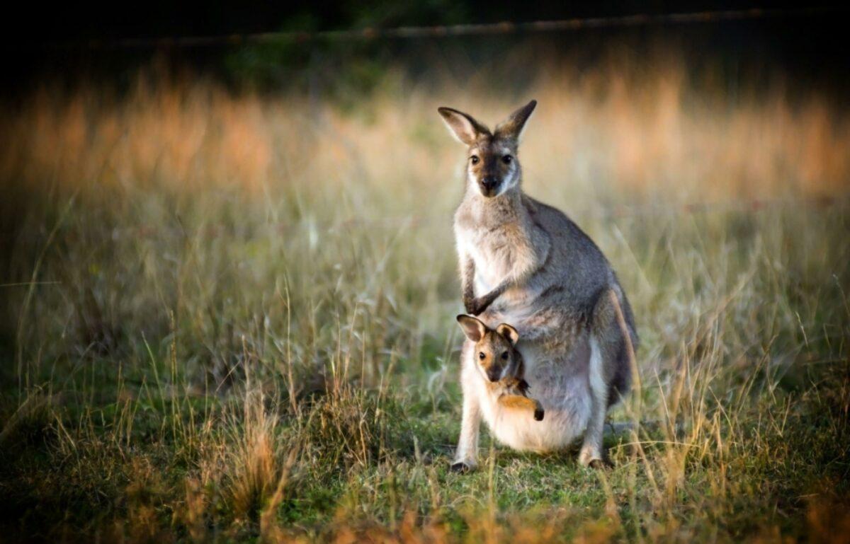 Aus kangaroos