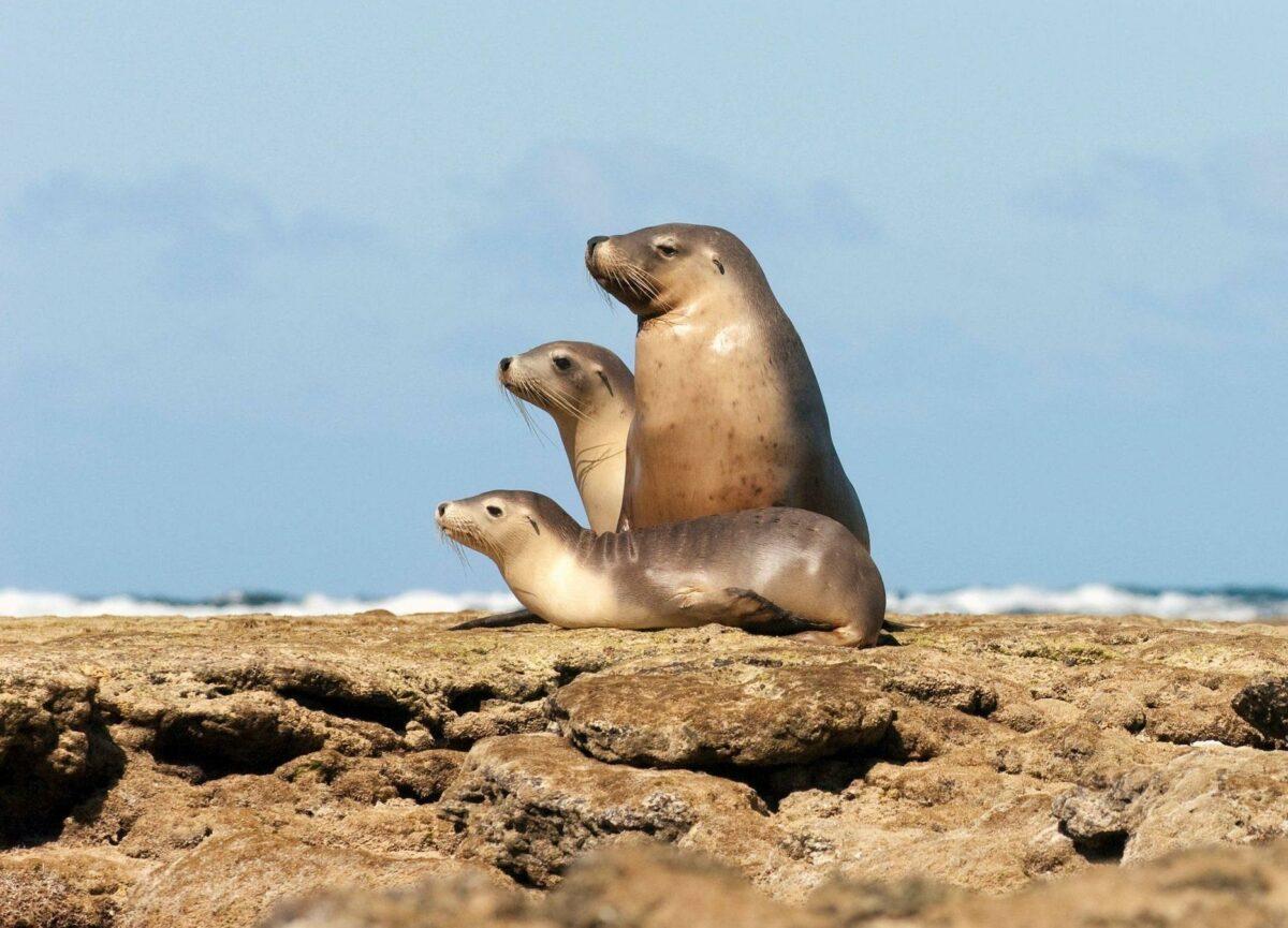 Australia Baird Bay sealion