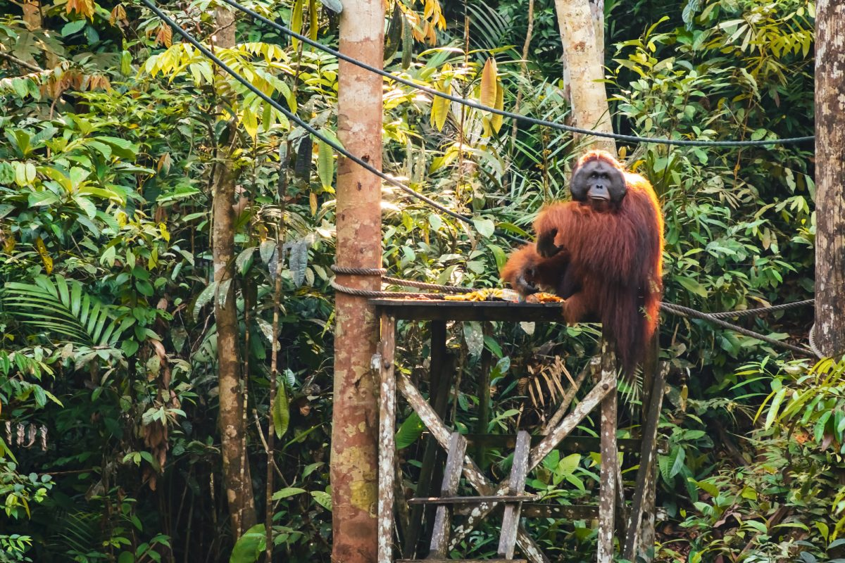 Borneo Orangutan9