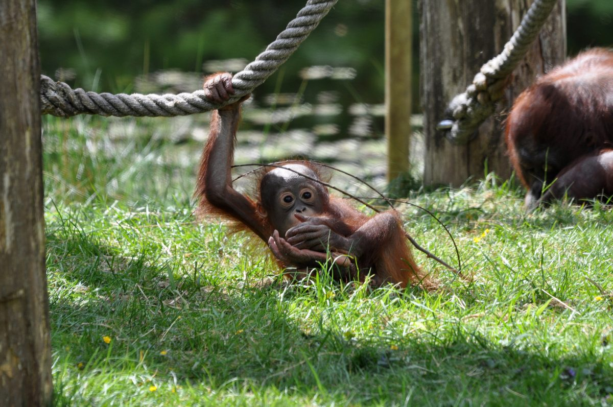 Borneo_orangutanconservation2
