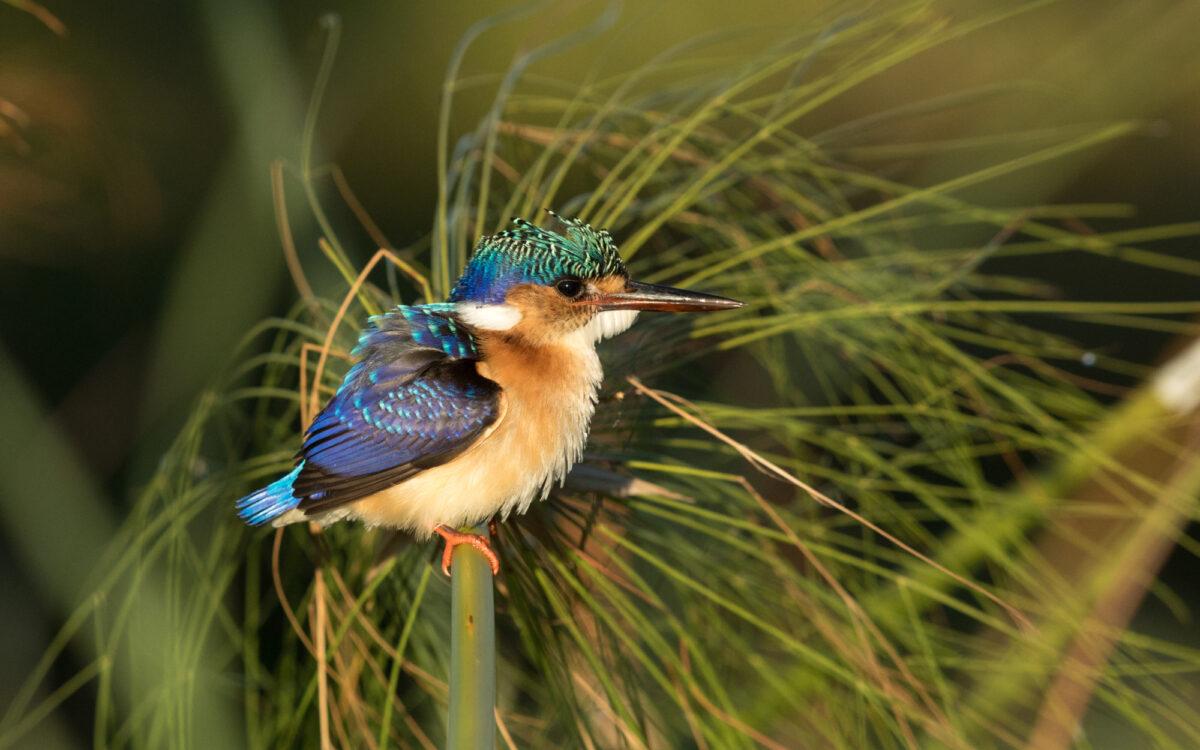 Bostanwana kingfisher