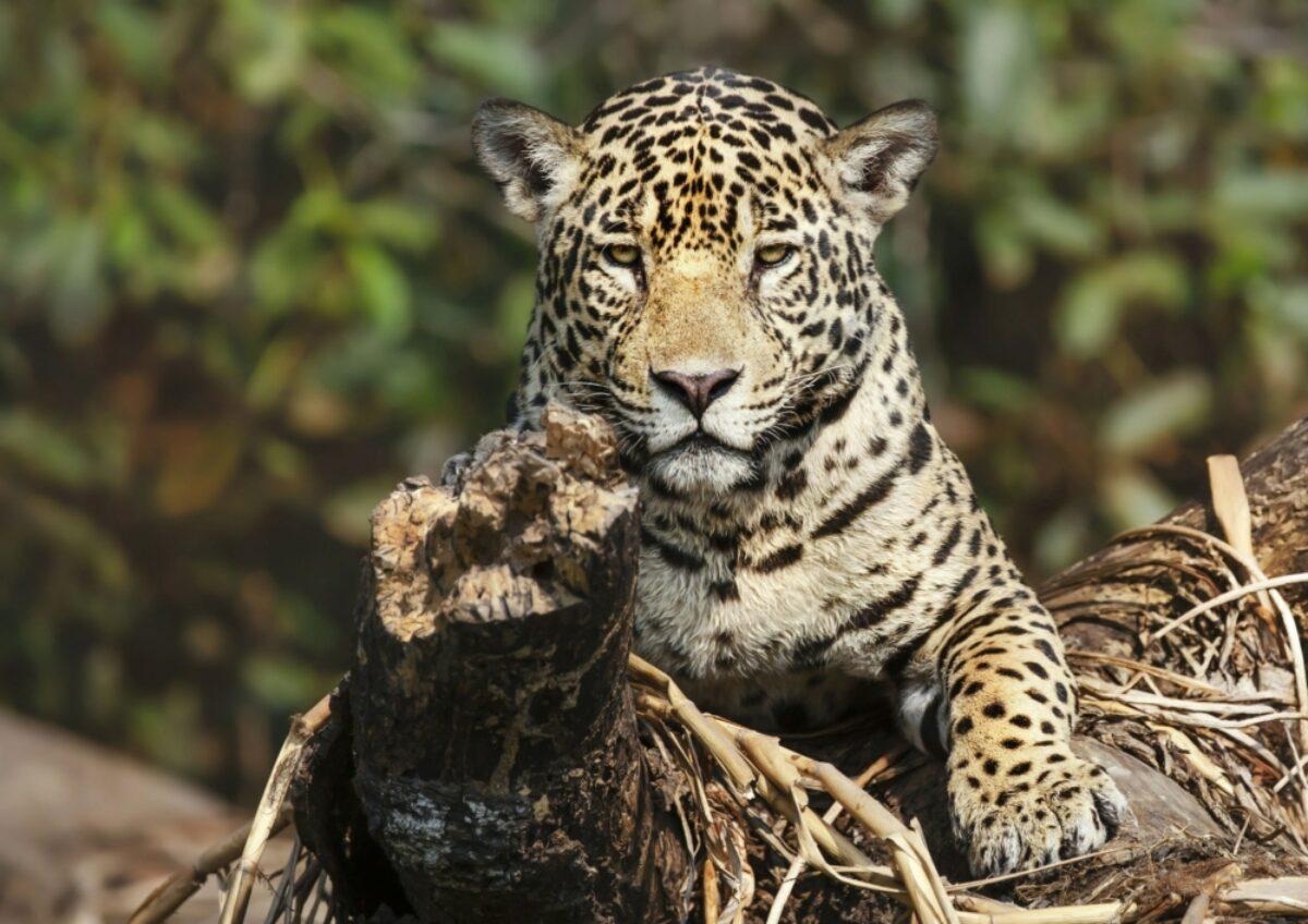 Brazil CUIABA pantanal jaguar