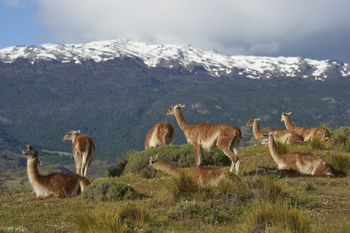 Chile_Valle-Chacabuco_guanaco