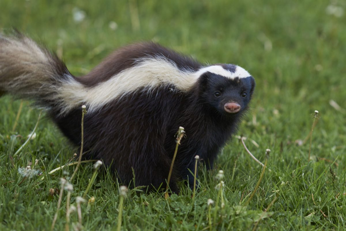 Chile Valle Chacabuco umboldts hog nosed skunk