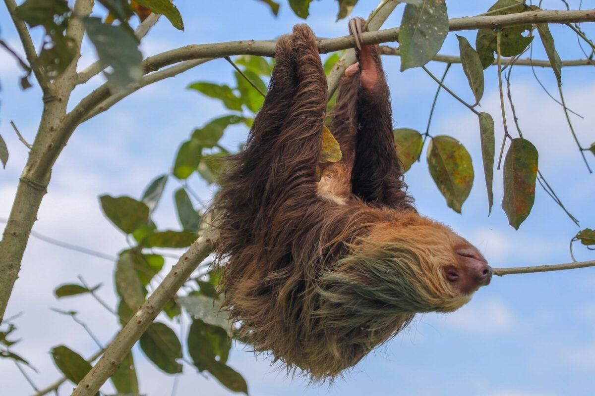 Costa Rica Cahuita sloth