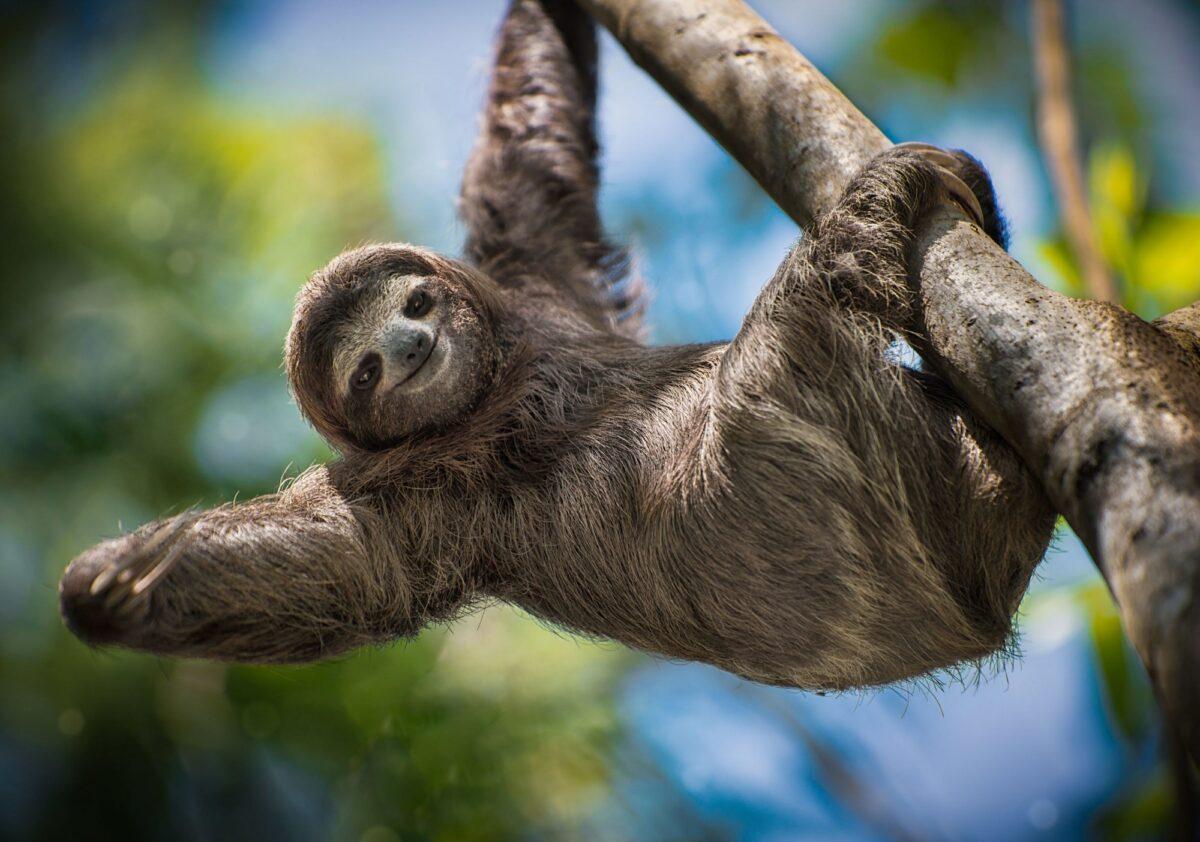 Costa Rica sloth 2