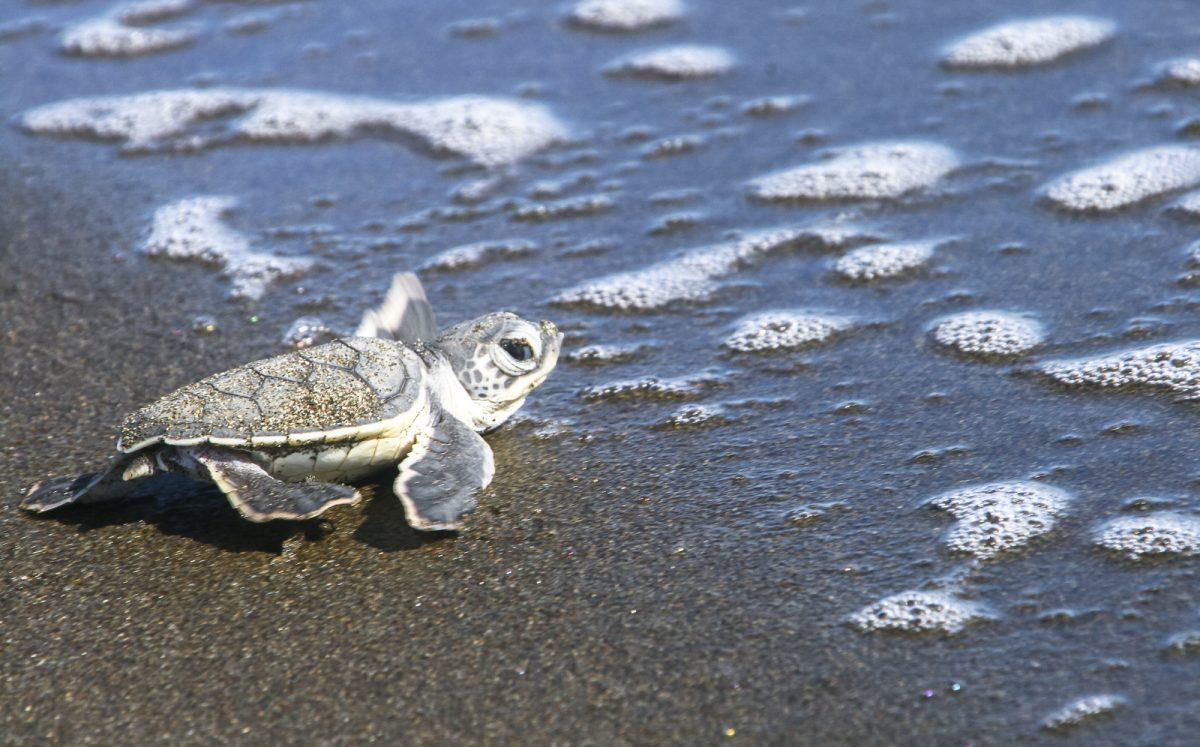 Costa-rica-sea-turtle