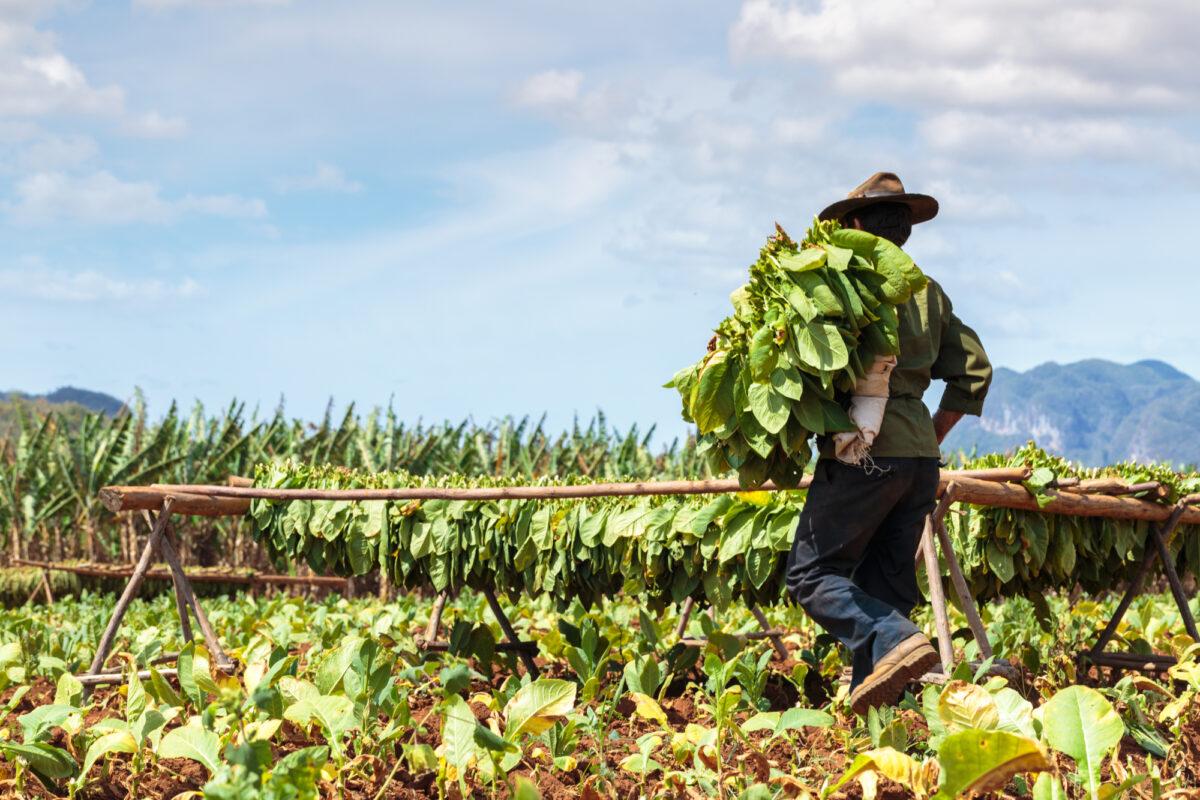 Cuba_Vinales_tabacco
