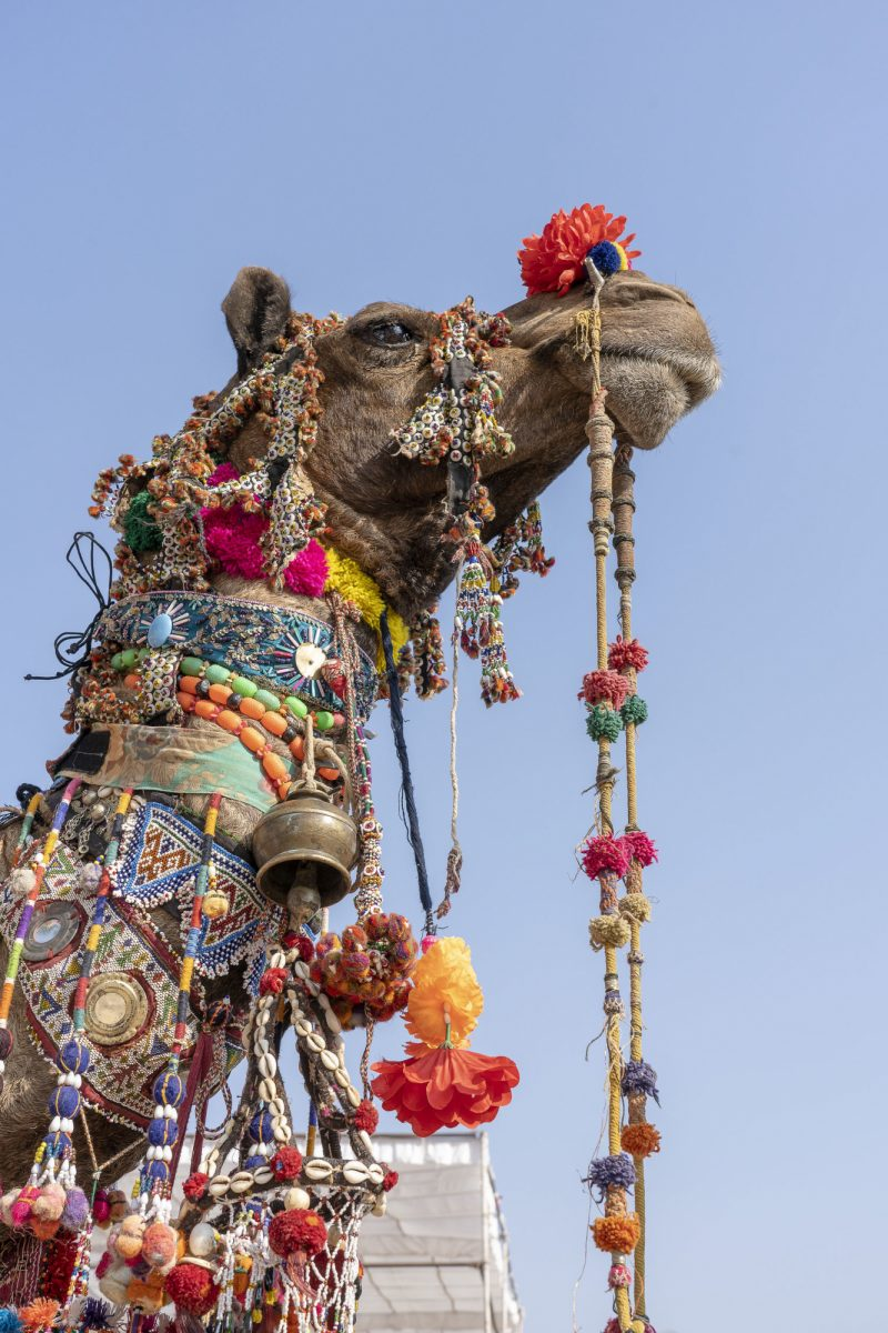 Decorated-head-of-a-camel-in-desert-Thar-during-Pushkar-Camel-Fair-Pushkar-Camel-Mela-in-Rajasthan-India