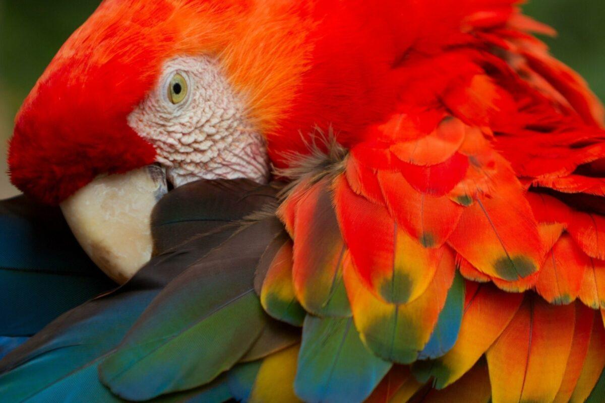Ecuador Amazon scarletmacaw