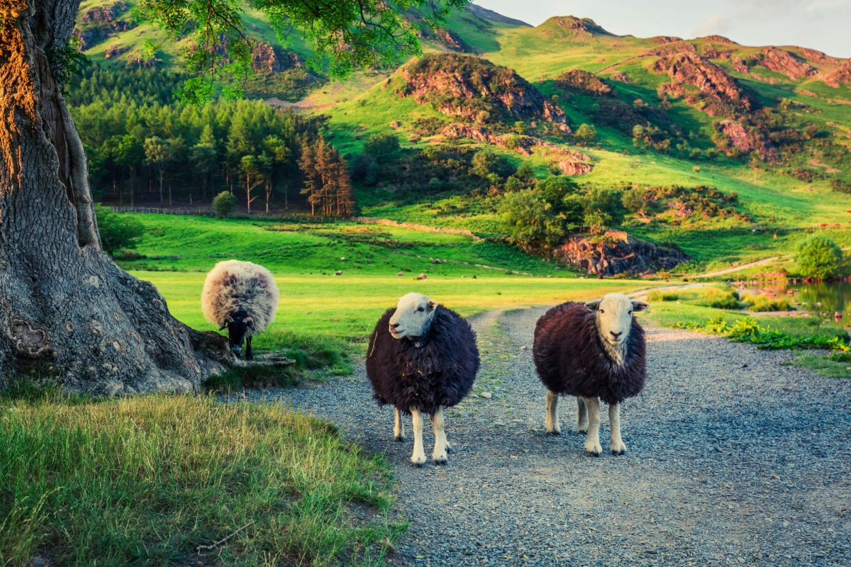England Lake District Two sheeps on pasture at sunset