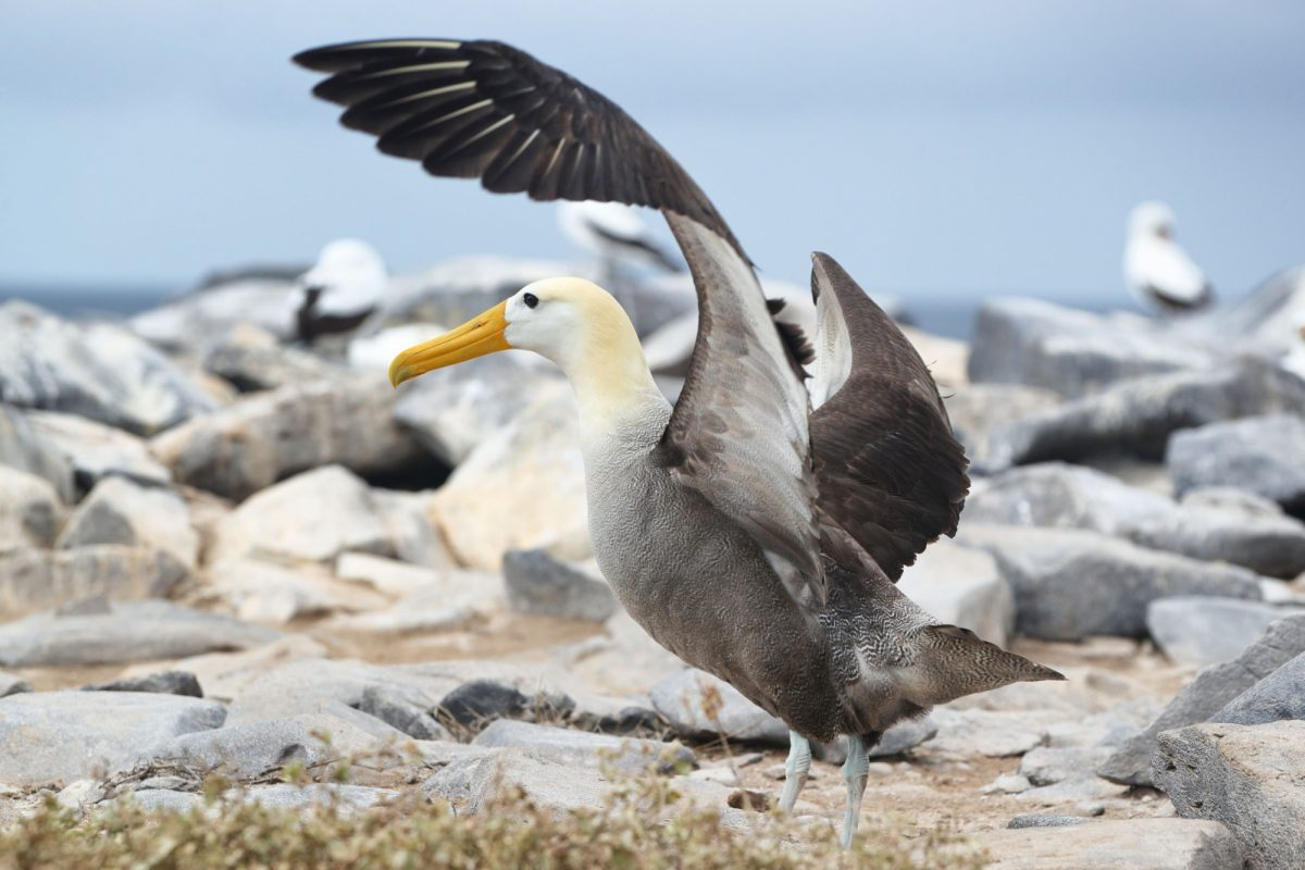 Espanola waved albatross