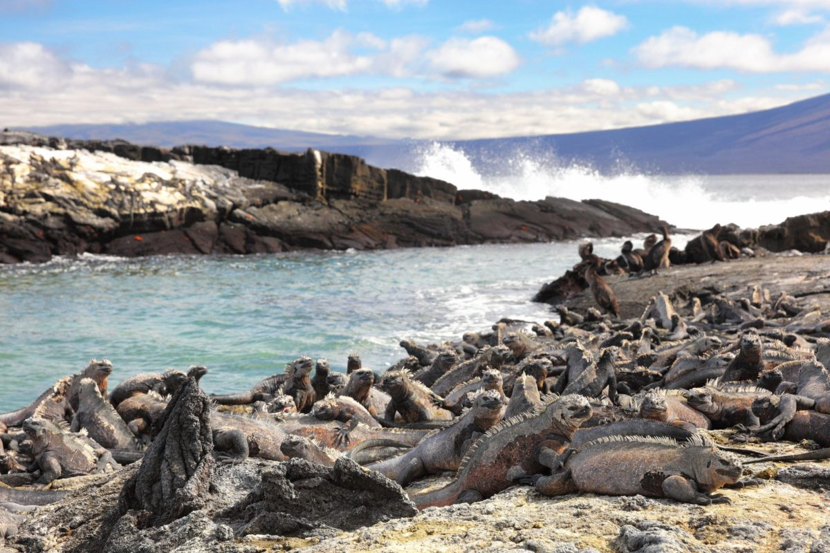 Fernandina Marine Iguana and Flightless cormorant at Punta Espinoza