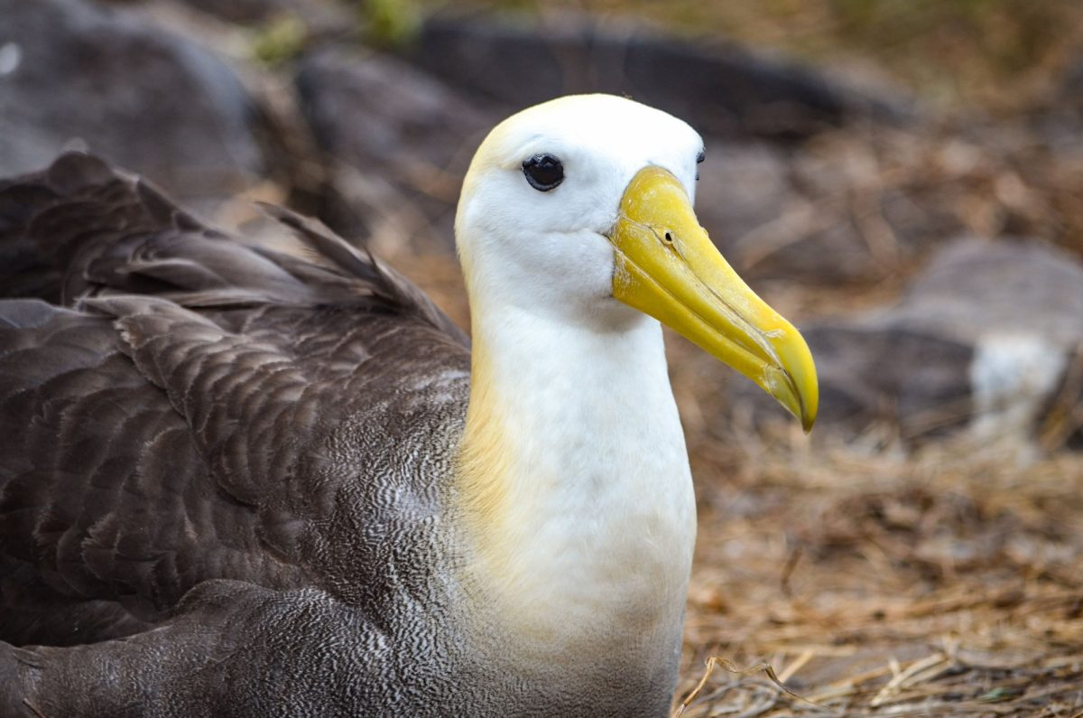 Genovesa Waved Albatross