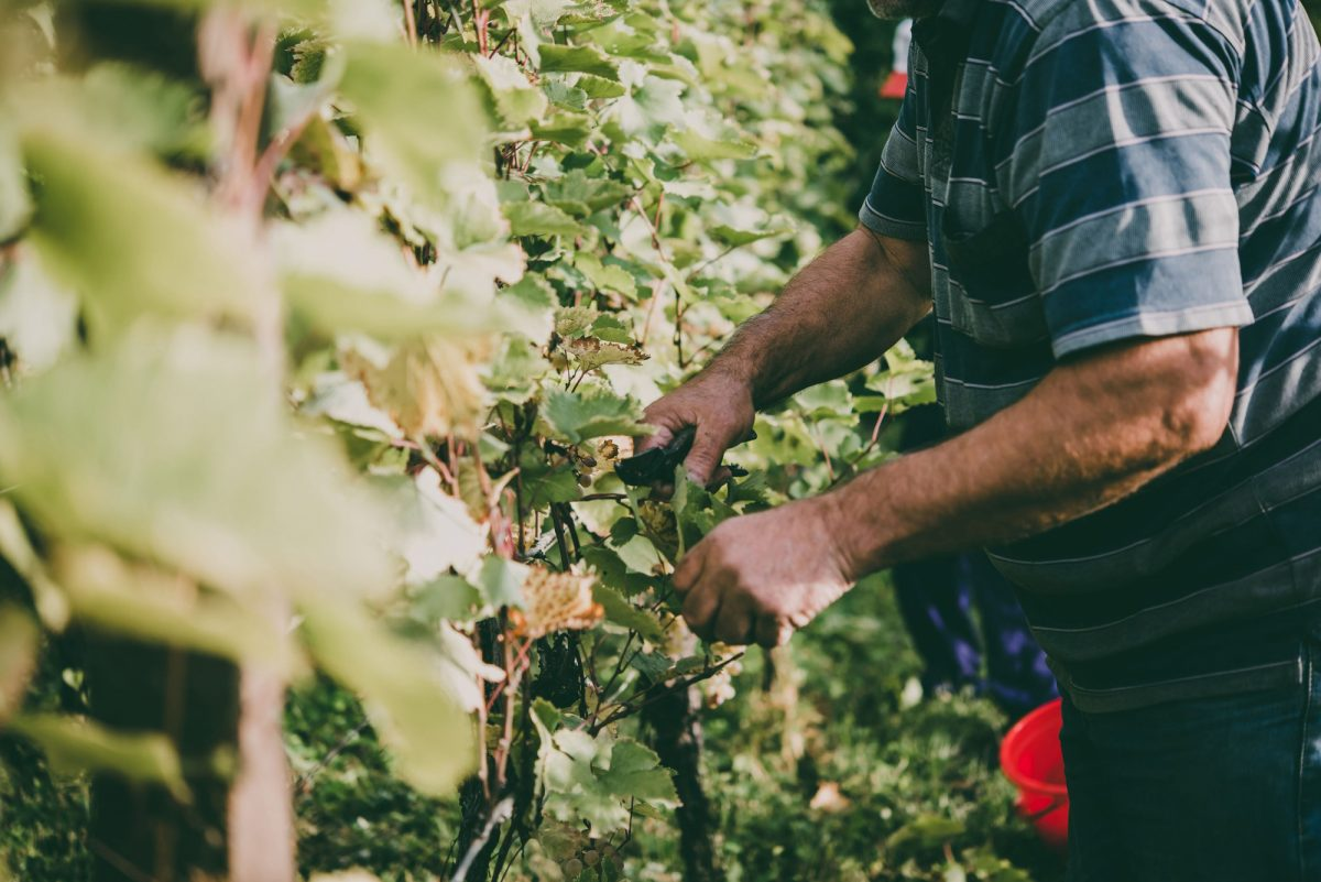 Georgia Kakheti region farmer grape picking2