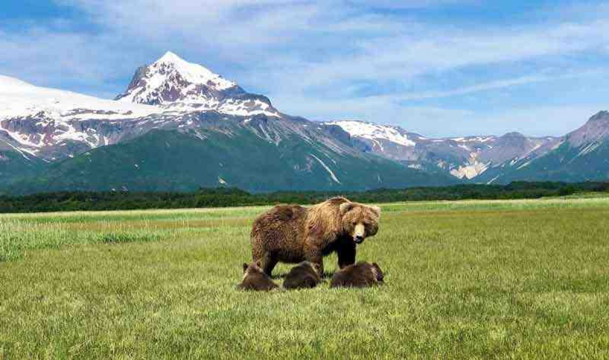 Gondwana USA Alaska grizzly